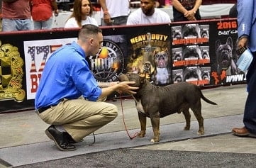 ELECTROLYTES FOR DOGS GRAND CHAMPION AMERICAN BULLY