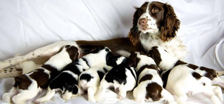 how to prepare for a litter of puppies