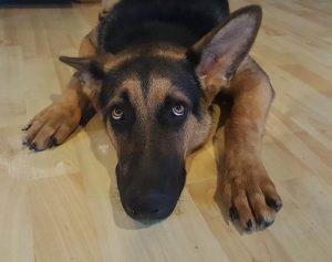 Bullyade dog