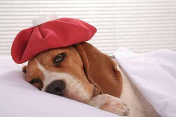 Parvo virus cure treatment sick puppy