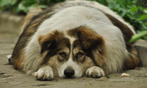 What is the Best Nutrition Diet for a Dog With Diabetes? Diabetes in dogs