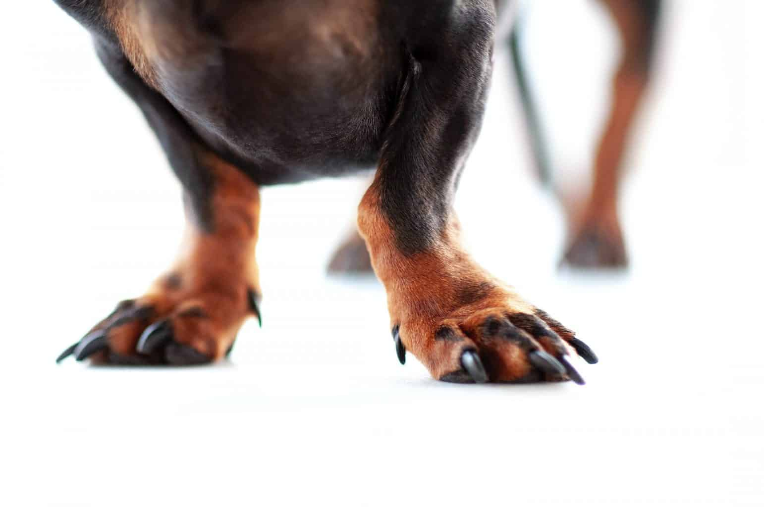 rickets in dogs